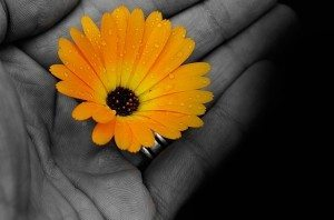 Gentle hand in black and white holding a colorful orange daisy